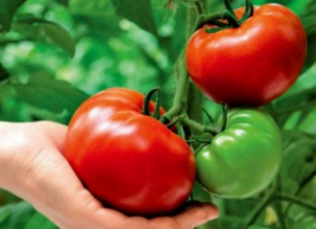 Собираем свои семена помидоров