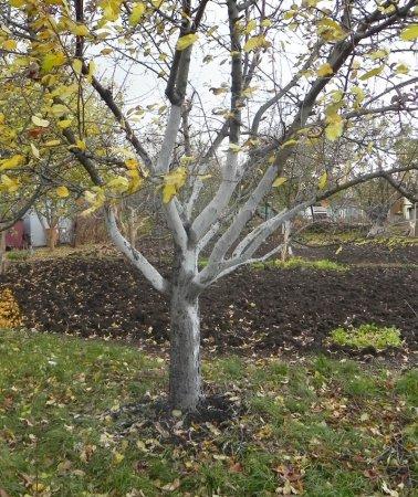 Про осеннюю побелку и обвязку деревьев в саду