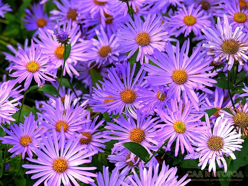Астра – яркое пятно в вашем саду | Lady ТБН | 601x800