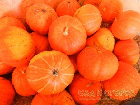 В поисках урожайных сортов томатов