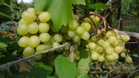 Как готовить виноград к зиме