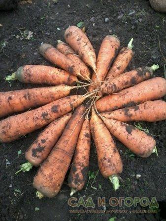Не засыпайте морковь ничем