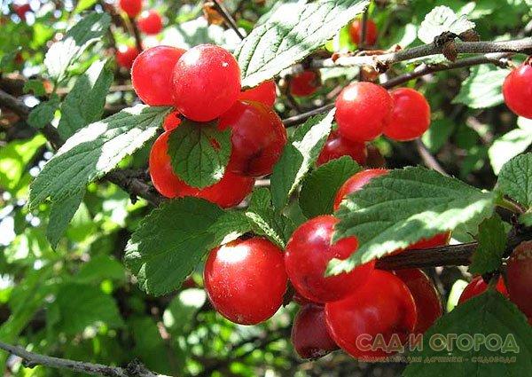 Войлочная вишня не цветет почему