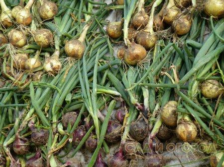 Едим лук до нового урожая