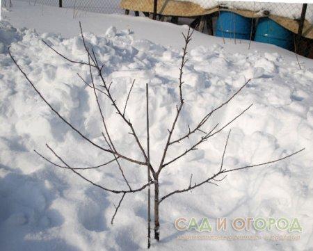 Благополучная зимовка деревьев