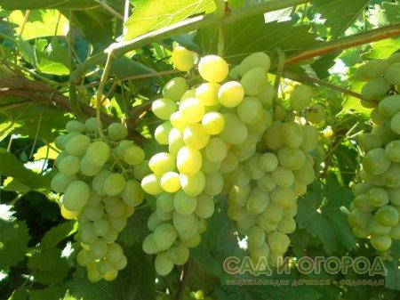 Виноград из черенка
