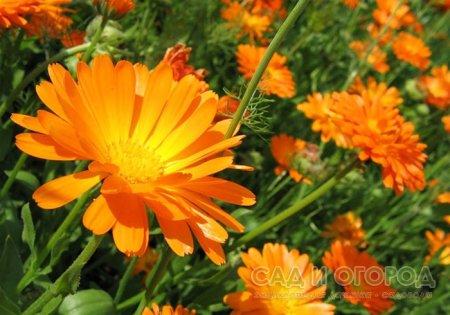 Календула - лекарственное растение