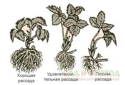 виды рассады клубники
