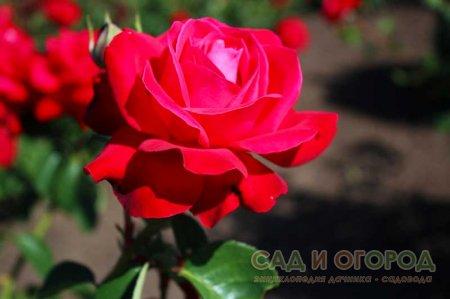 Размножаем розы черенками