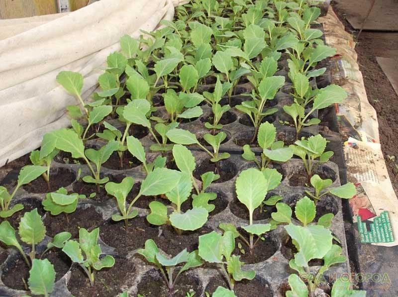 Выращивание капусты все этапы 39