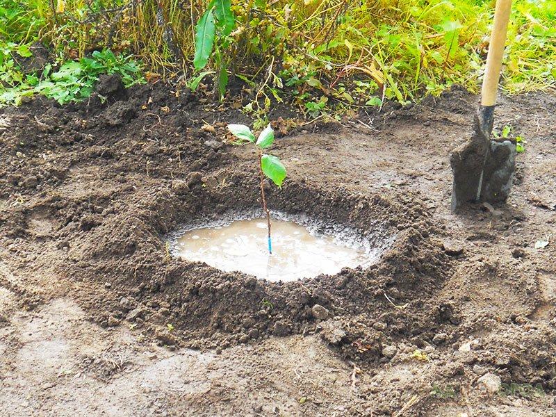 Как вырастить лимон из косточки лимонное дерево в 30