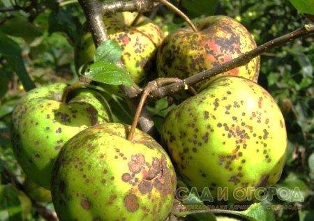Основные болезни яблони и груши