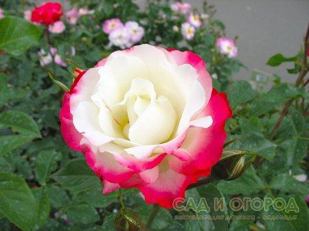 Полезные свойства розы