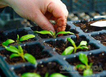 Выращиваем крепкую рассаду