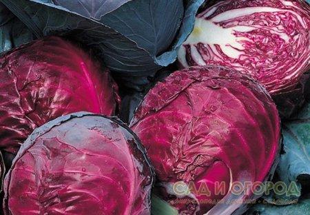 О пользе краснокочанной капусты