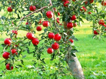 Весенняя посадка плодового сада