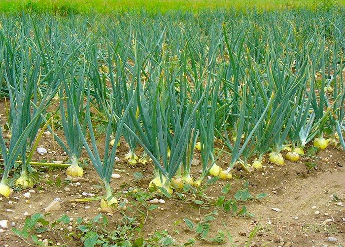 Как правильно выращивать зеленый лук понимании действительно