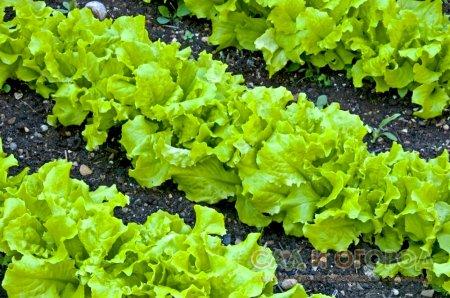 Выращиваем салат на грядке