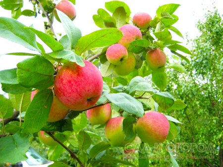 Уход за яблоней и грушей