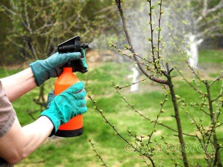 Защита семечковых плодовых деревьев от болезней и вредителей