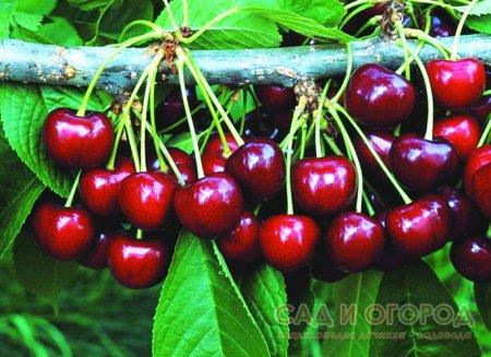 Выращивание косточковых плодовых деревьев
