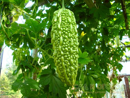 Момордика – лиана из семейства тыквенных